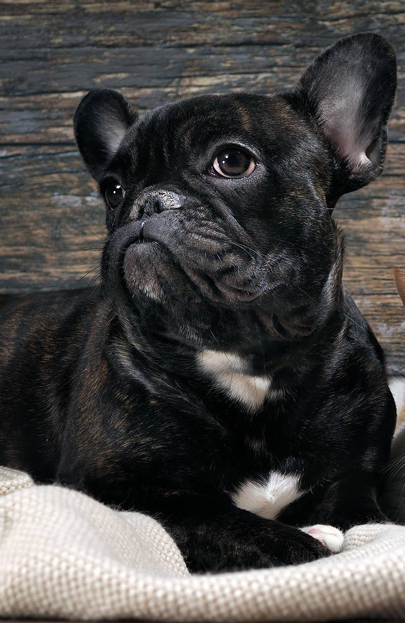 Why do dogs cry tears - well, dogs like this French Bulldog are prone to eye problems