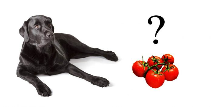 Can dogs eat tomatoes? We investigate!