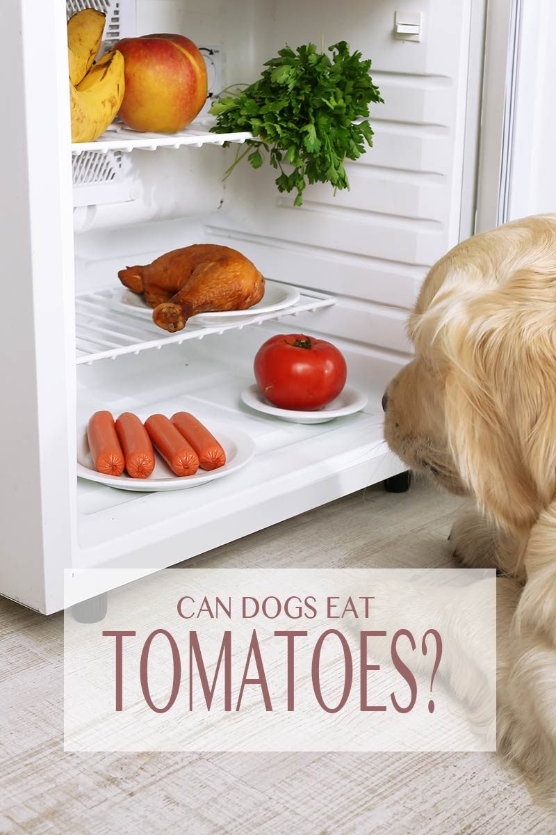 In Can Dogs Eat Tomatoes we look at the benefits and risks of feeding this popular salad vegetable to our dogs