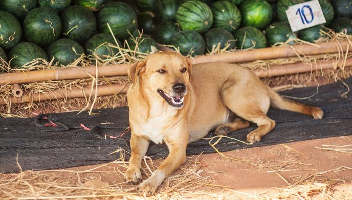 Can dogs eat watermelon - find out here