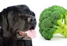 Can Dogs Eat Broccoli