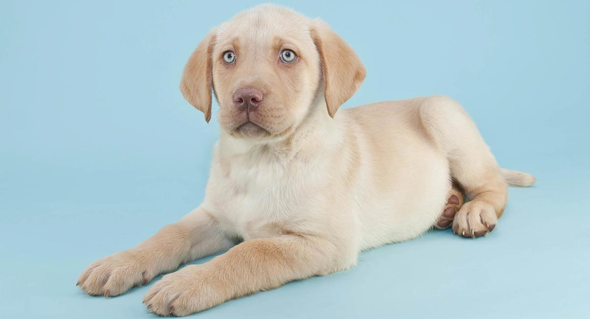 Yellow Lab Your Guide To The Yellow Labrador Retriever