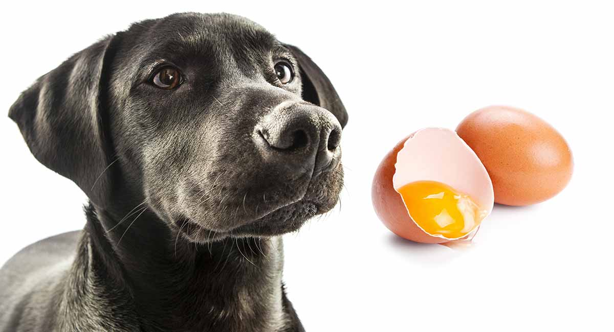 Can Dogs Eat Eggs? A Complete Guide to Safely Feeding Egg to Dogs.