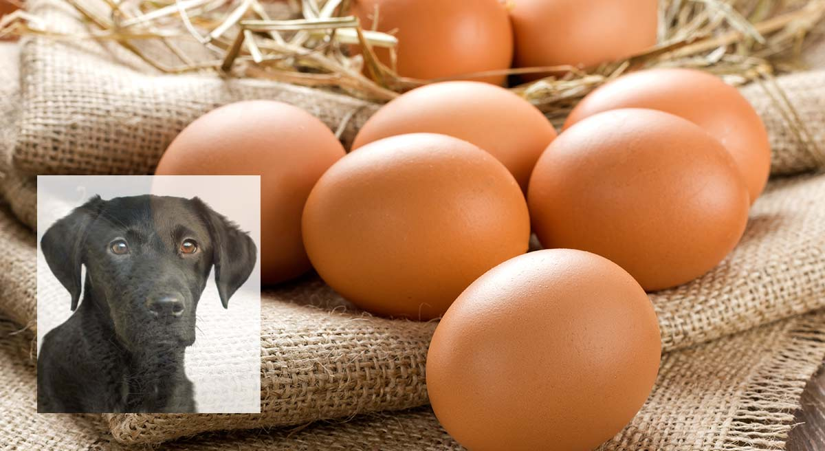 Can Dogs Eat Eggs? A Food Safety Guide by The Labrador Site