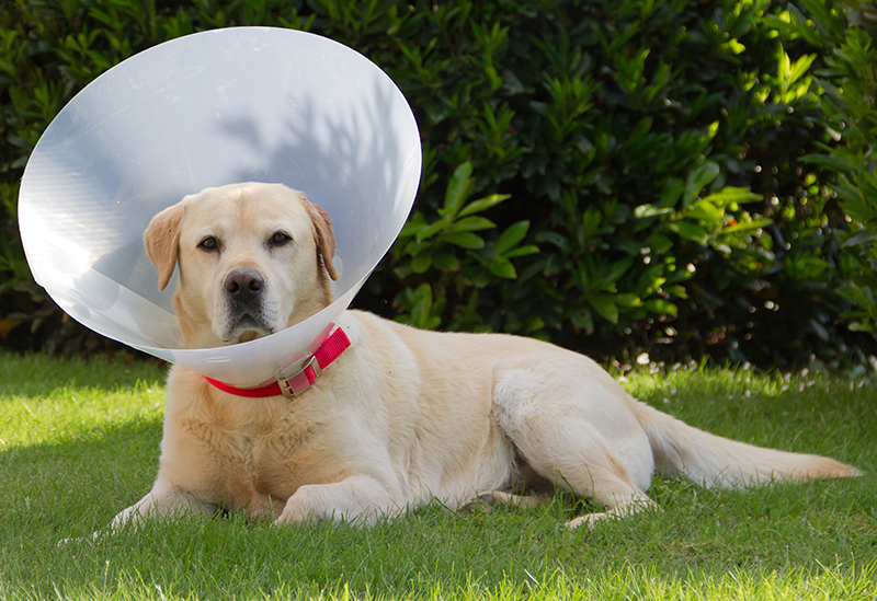 Dog Cone When To Use One And Which One To Choose