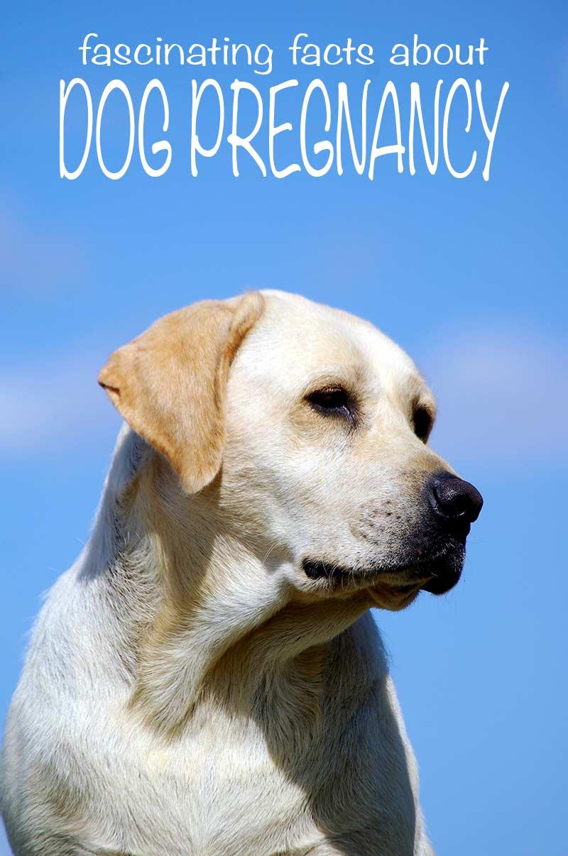 dog pregnancy guide pets world