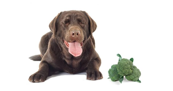 Can dogs eat brocolli