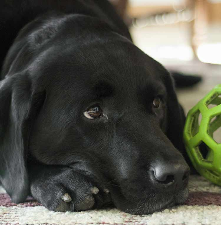 Guide Dog Rehoming >> Black Lab - A Complete Guide to the Black Labrador Retriever
