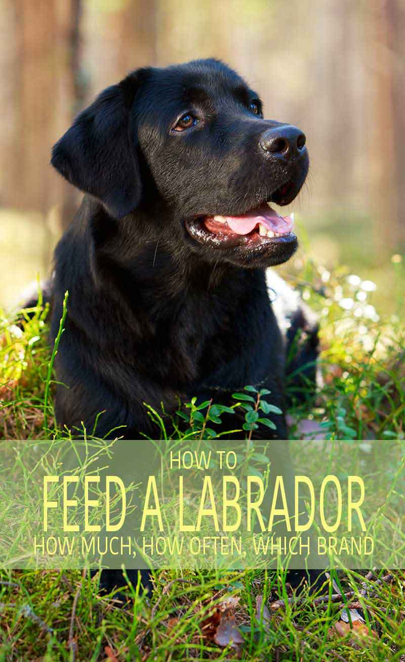 labrador feeding