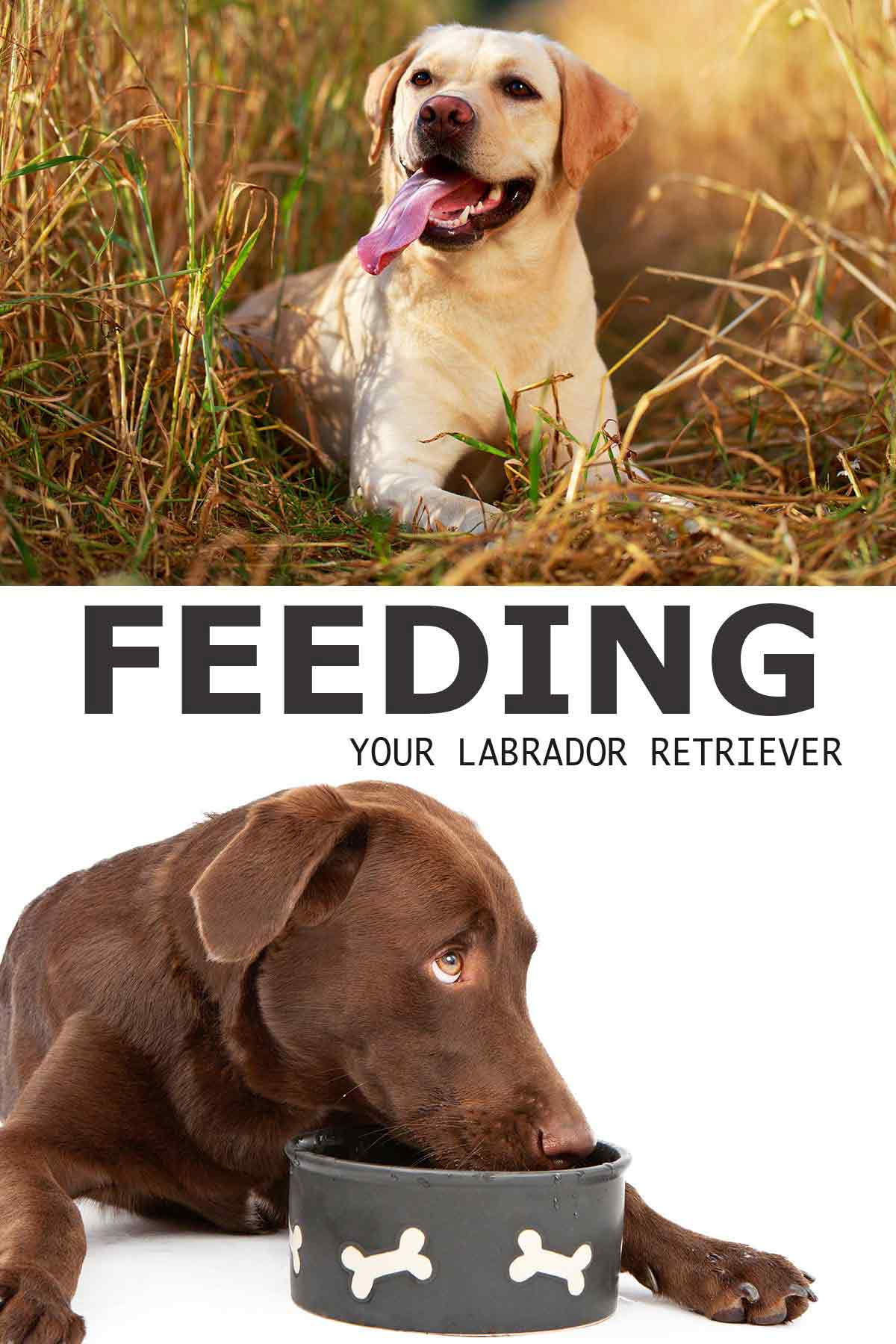 feeding your labrador