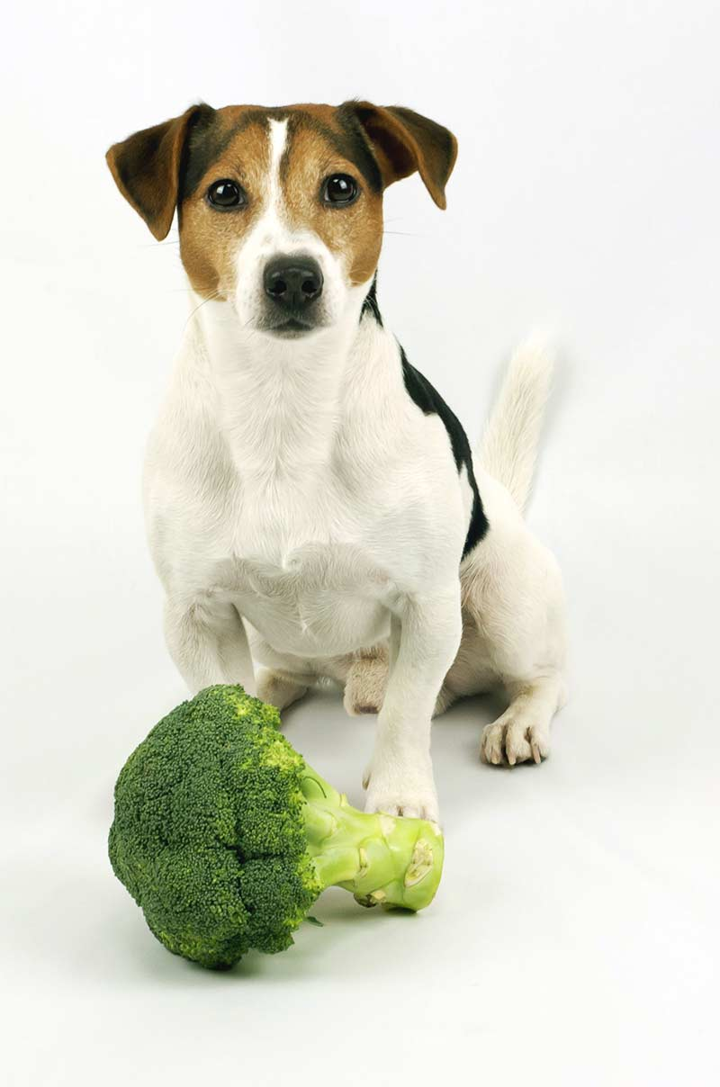 Can Dogs Eat Broccoli - Is It Okay To