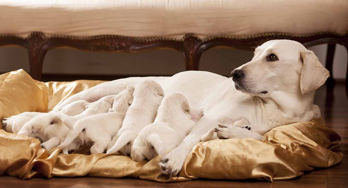 Dog Pregnancy Signs Symptoms And How Puppies Develop