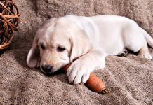 In Can Dogs EAt Carrots you can find out all about incorporating carrots into your dog's diet