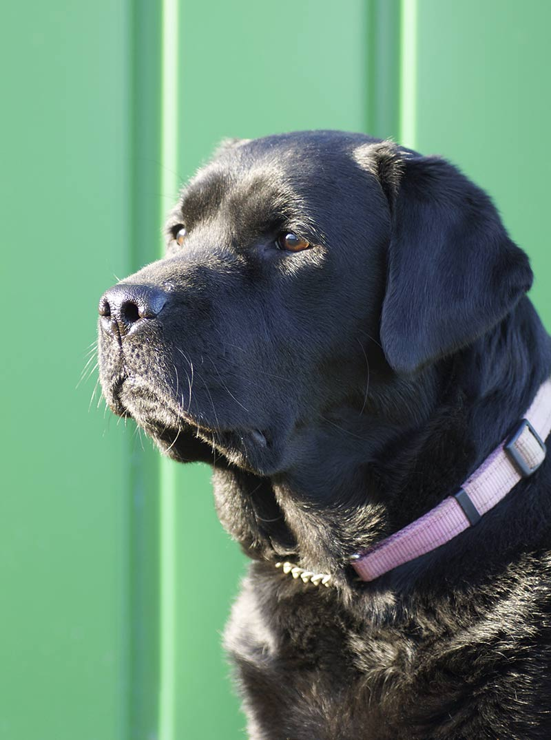 Different types of Labrador -we compare English and American Labs