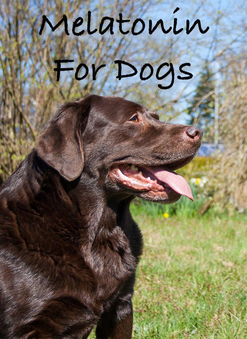 Melatonin for Dogs: Is It Safe? | petMD