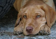 Dog rehoming - giving up a Labrador