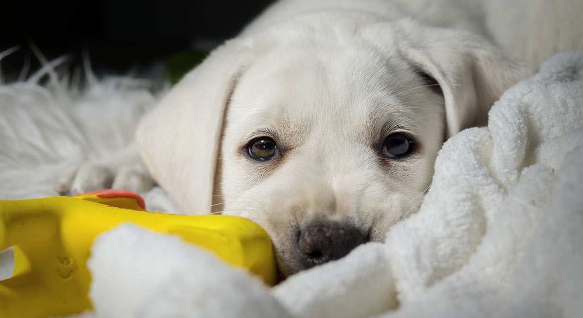 How Much Dog Food Should A Lab Puppy Eat