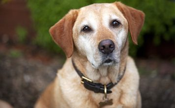 Best Leather Dog Collars For Labs and Other Large Breeds