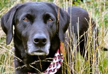 best dog bandanas for labradors