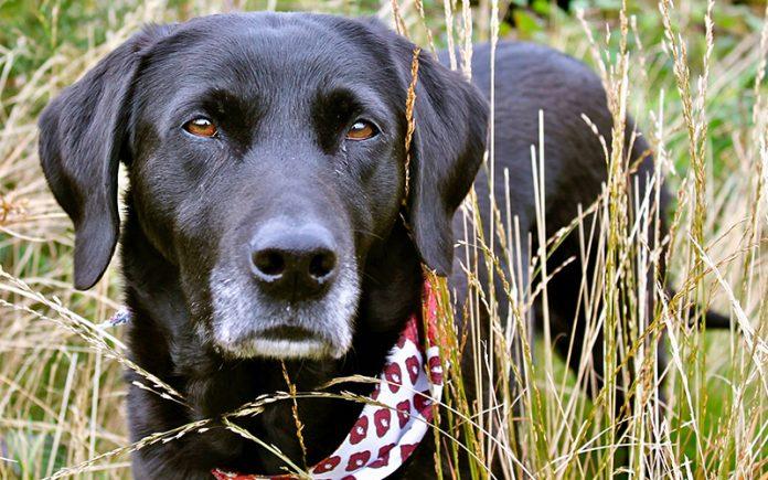 best dog bandanas for labradors