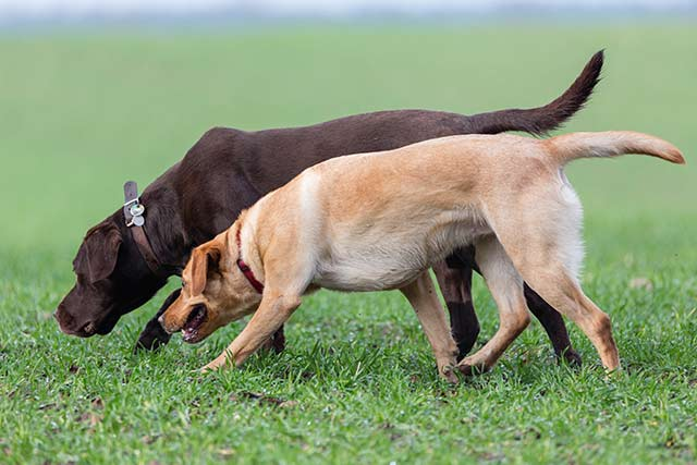 The best sniffer dogs are co-operative and easy to train