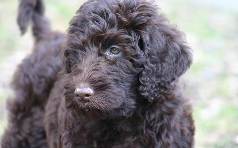 Beautiful black labradoodle