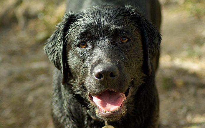 Best dog shampoo for Labradors