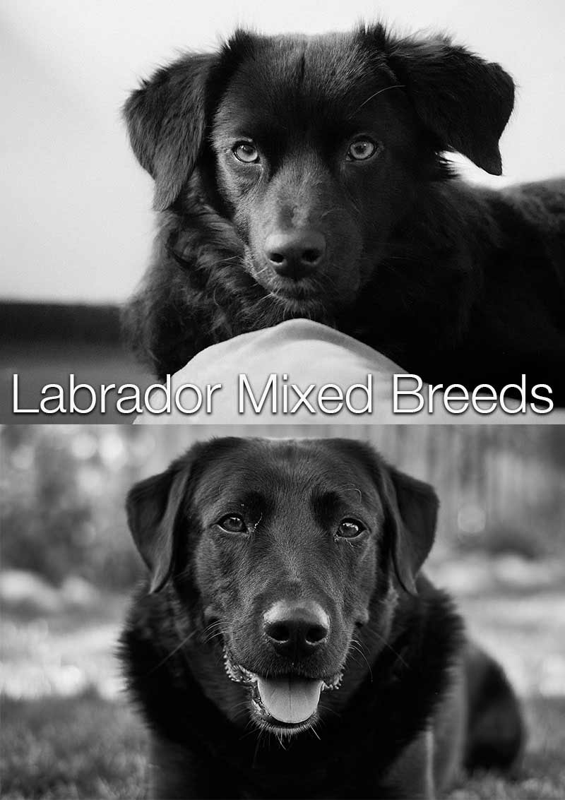 Labrador Mix Breed dogs are becoming very popular