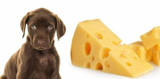 Can Dogs Eat Cheese, Or Is Cheese Bad For Dogs?
