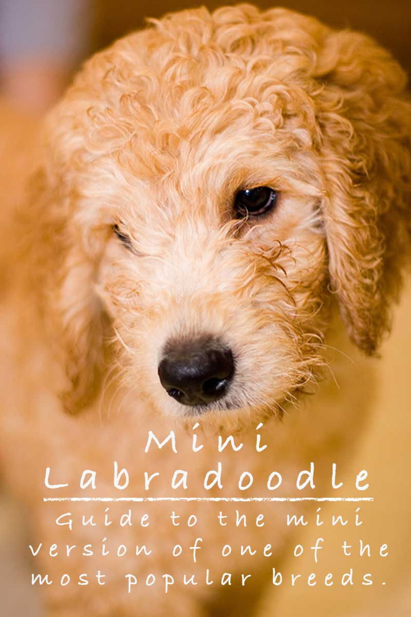 Mini Labradoodle - The Miniature Poodle Labrador Retriever