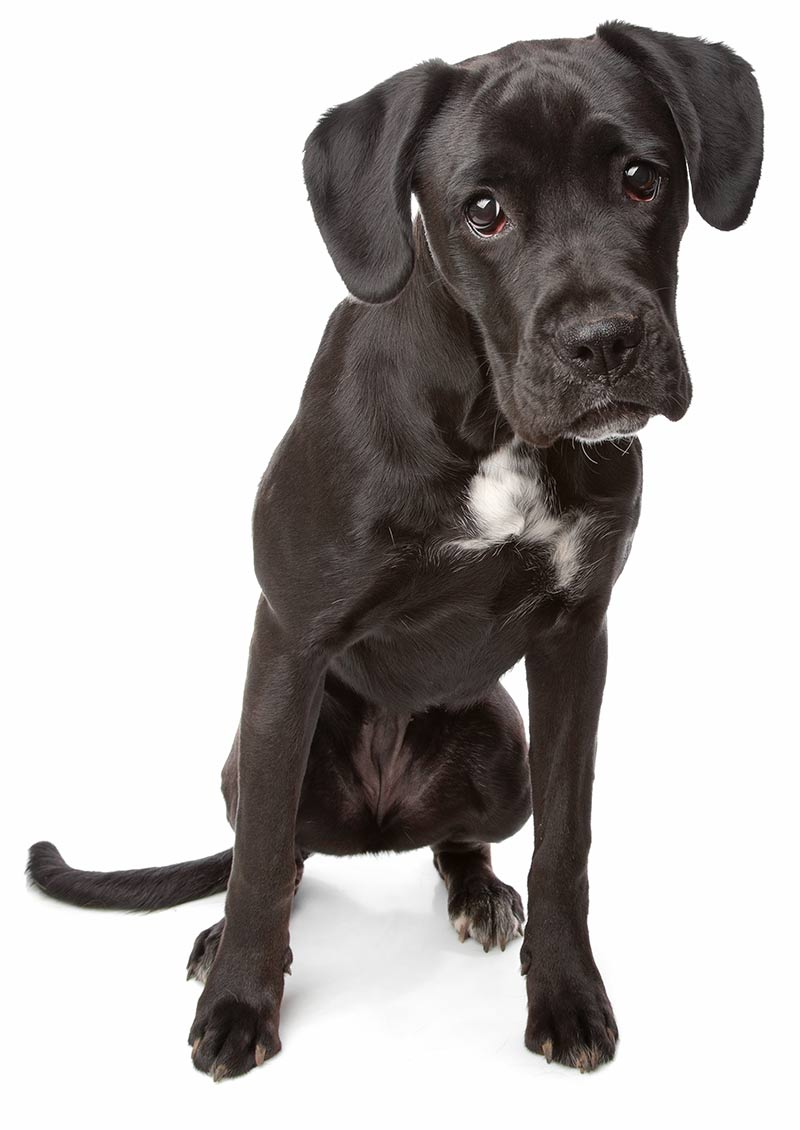boxer lab mix