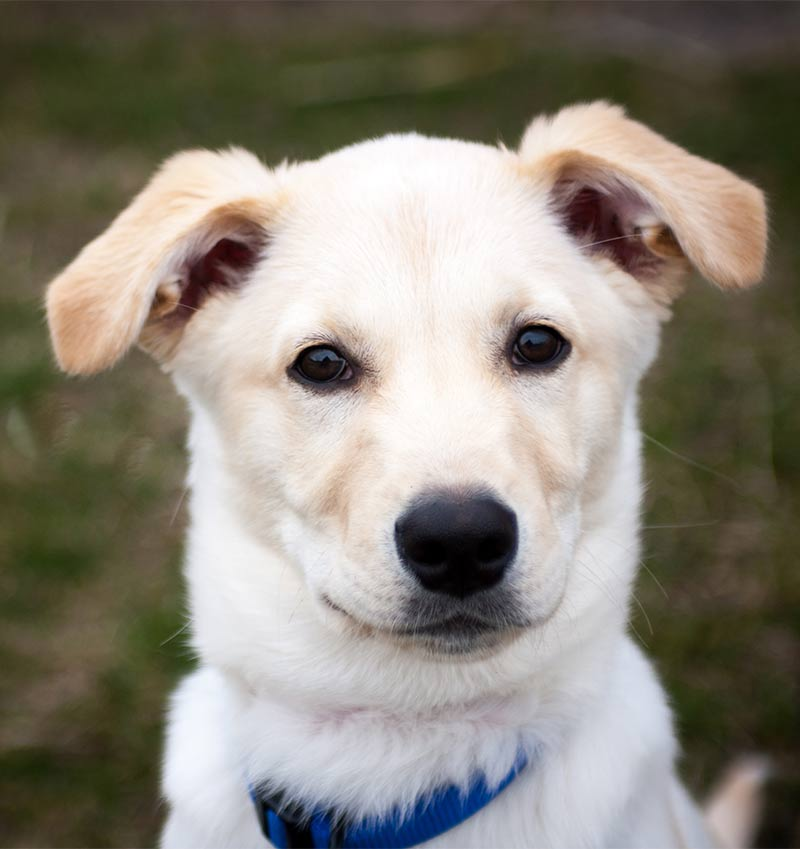 Husky Lab Mix