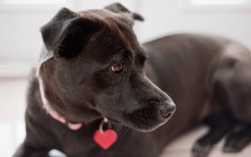 Pitbull Lab Mix - Have You Discovered the Bullador?
