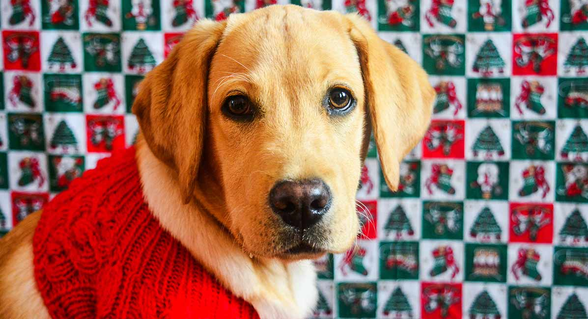 Dog Sweaters For Large Breeds , The Labrador Site