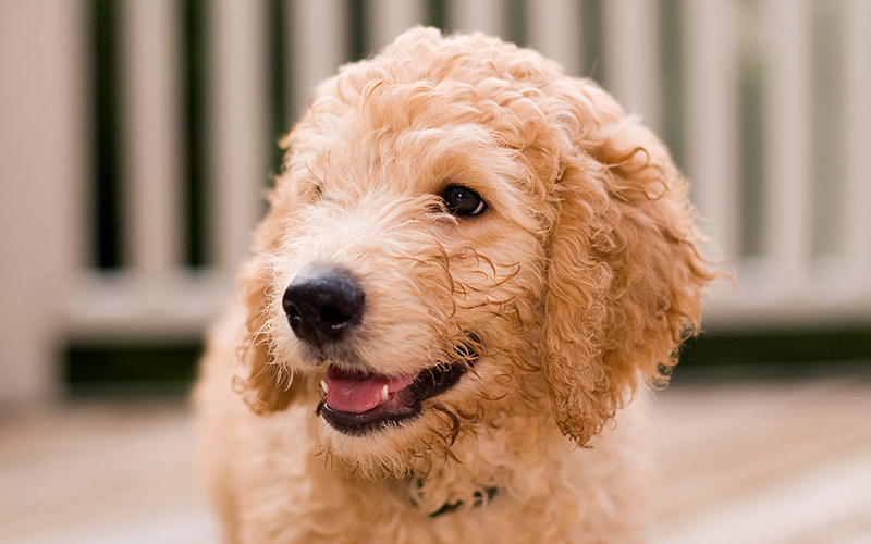 mini labradoodle - the miniature poodle labrador retriever mix