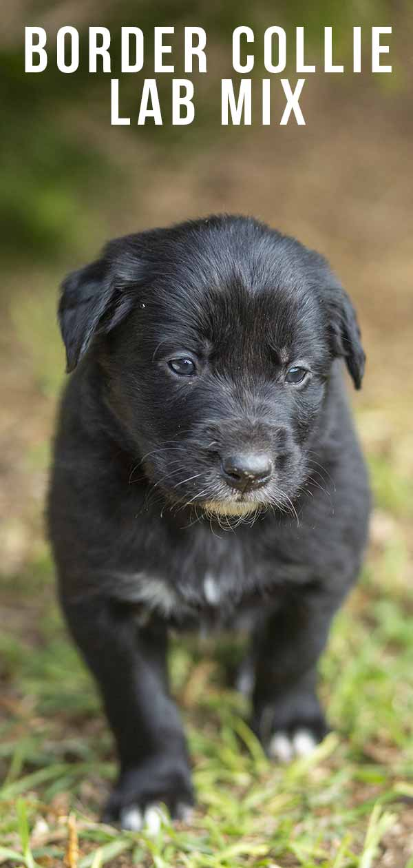 Border Collie Lab Mix Information Center: A Guide to the Borador