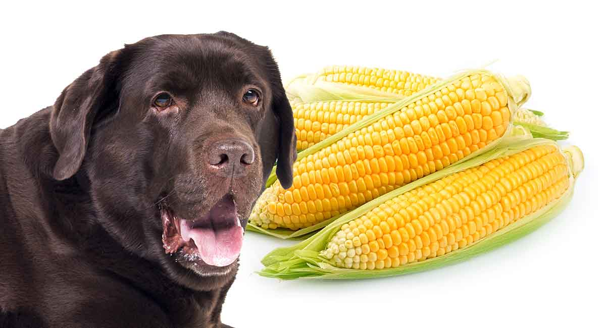 Can Dogs Eat Corn - Is It Safe To Let