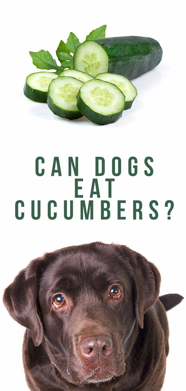 can dogs eat cucumber