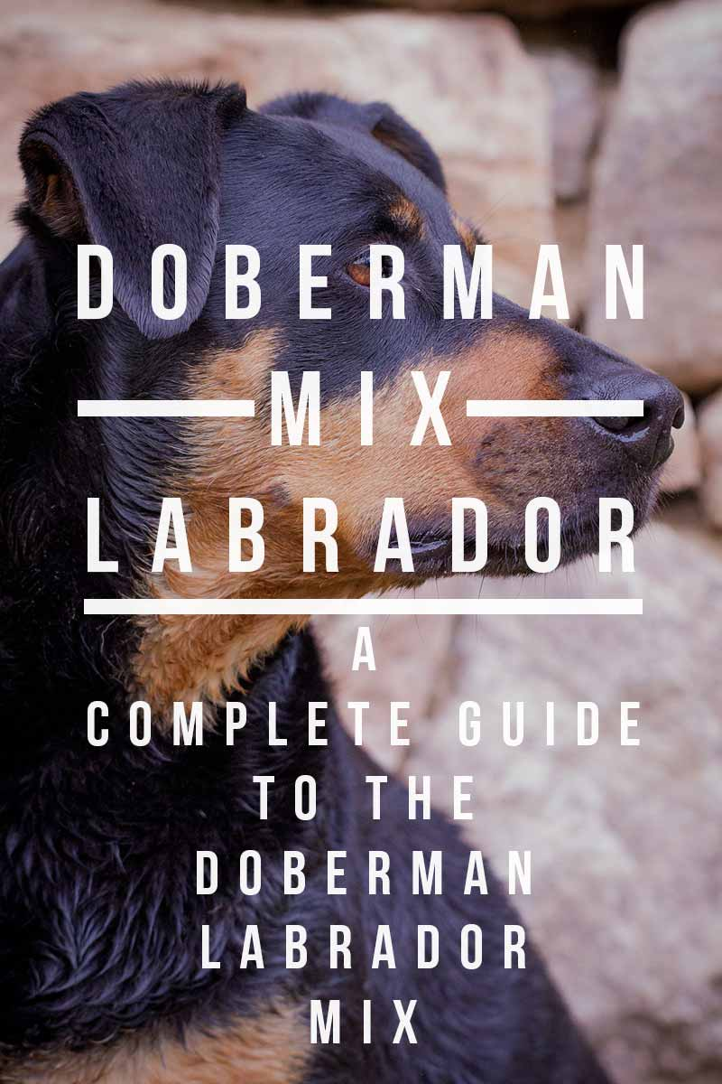 Doberman Lab Mix - A Complete Guide To The Doberman Lab Mix