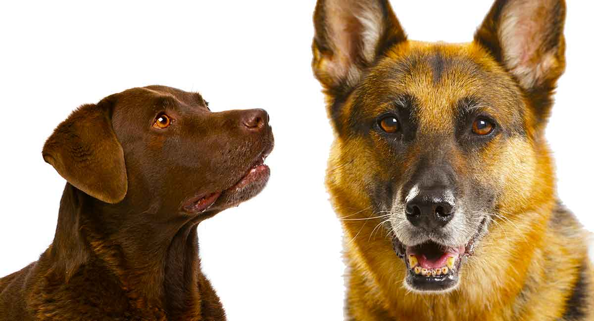 9dc66af6 German Shepherd Lab Mix - A Complete Guide to the Sheprador