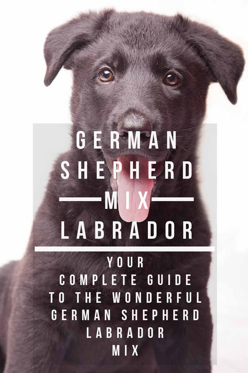 German Shepherd Lab Mix - A Complete Guide to the Sheprador