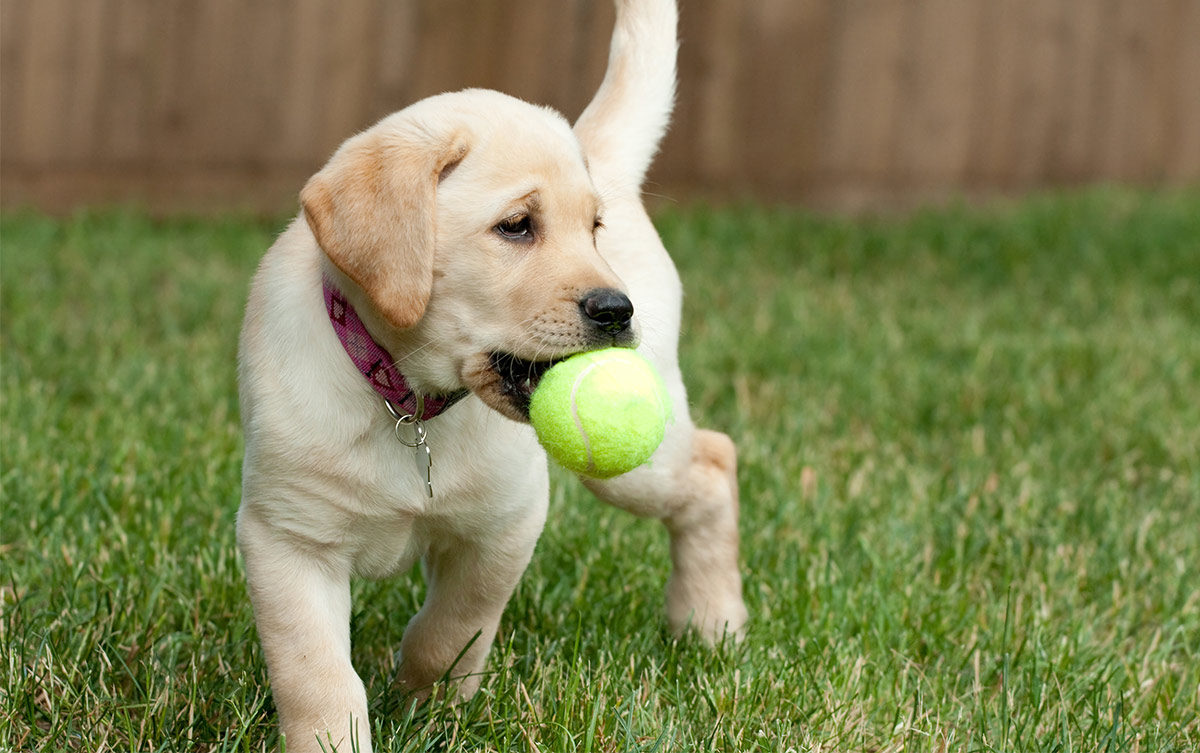 cute puppy carrying ball