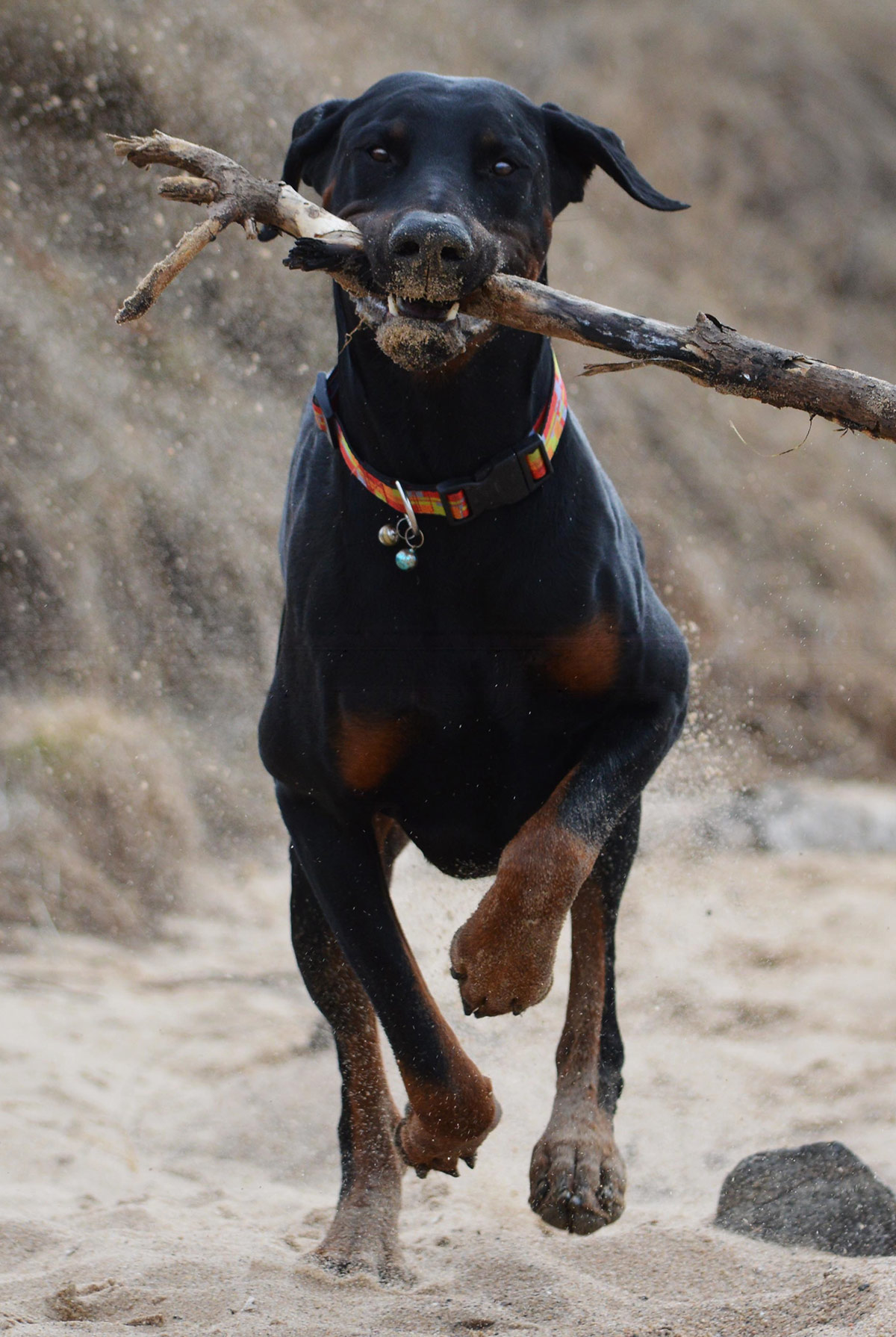Doberman Lab Mix - All About This Incredible Cross Breed