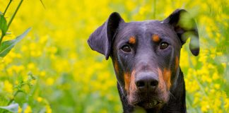 Doberman Lab Mix