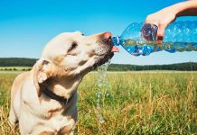 dog drinking a lot of water