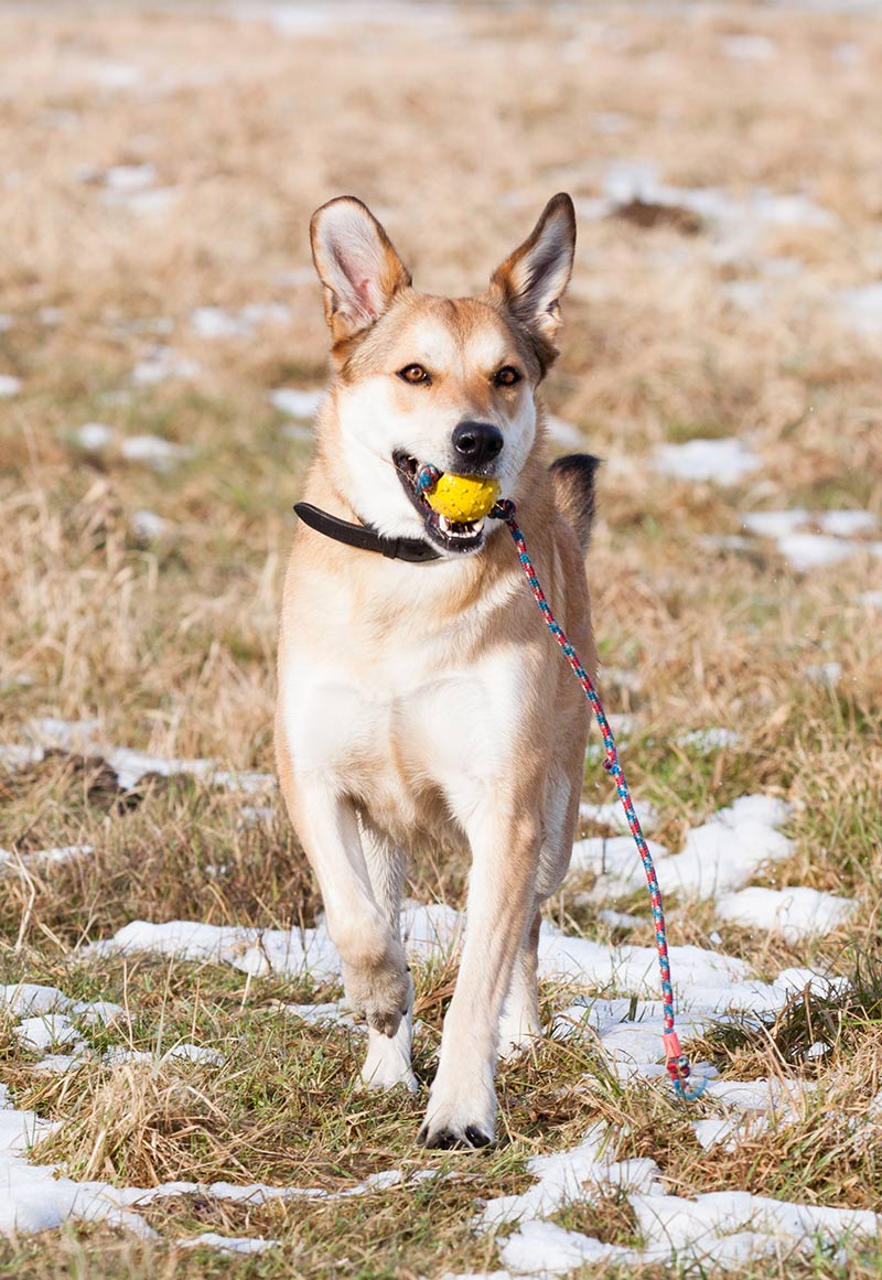 german shepherd lab mix with ball