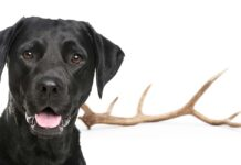 antlers for dogs