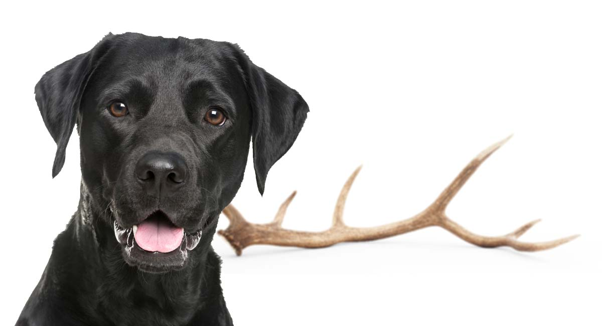 Antlers For Dogs: Are Deer Antlers Safe For Dogs To Chew On