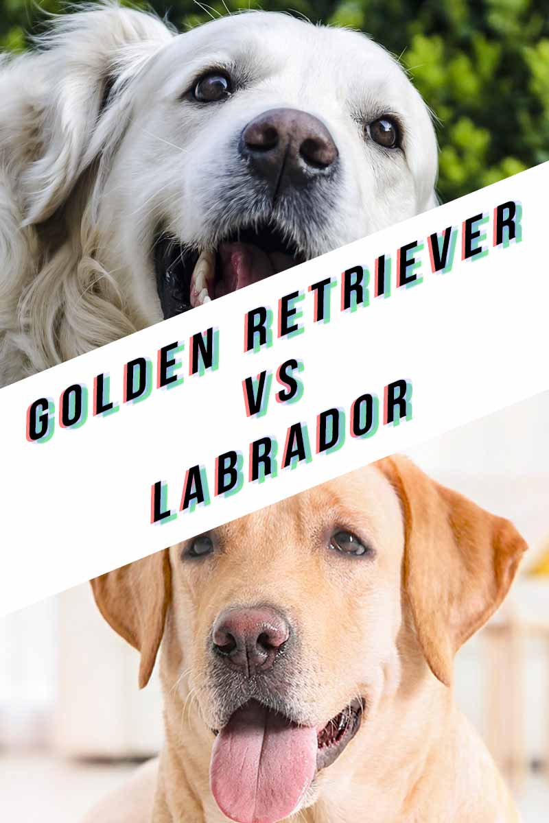 Golden Retriever vs Labrador - A dog breed guide