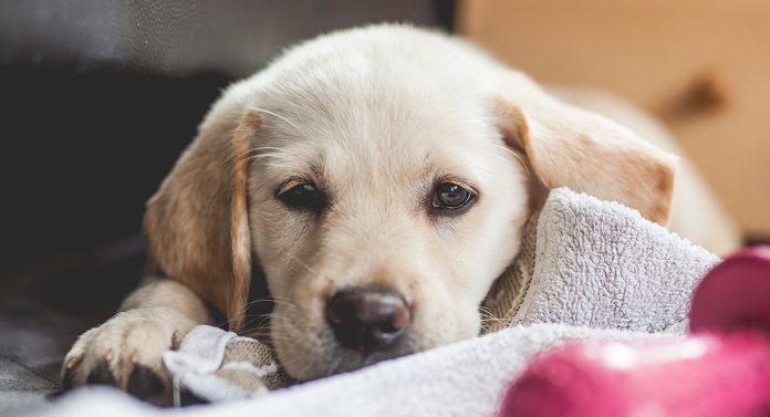 Goldador - Labrador Retriever Golden Retriever Mix